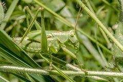 灌木蟋蟀巨大绿色 免版税库存照片