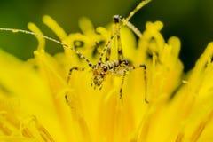 灌木蟋蟀 图库摄影