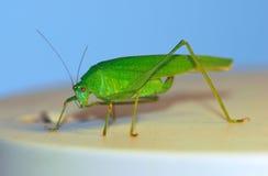 灌木蟋蟀 库存图片