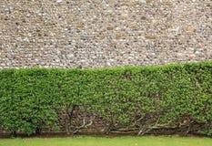 灌木被看见对岩石墙壁 免版税库存照片