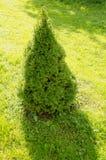 灌木装饰庭院生长杜松草甸工厂 免版税库存图片