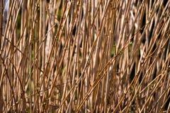 灌木许多平直的分支没有叶子的 自然他温暖颜色,棕色 库存照片