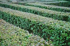 灌木迷宫 免版税库存照片