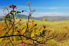 灌木野玫瑰果 库存照片
