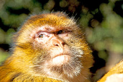 灌木猴子在非洲摩洛哥和 库存图片