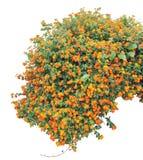 灌木 免版税图库摄影