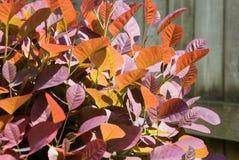 灌木coggygria cotinus烟 免版税图库摄影