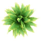 灌木funkia查出的顶视图白色 图库摄影