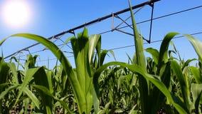 灌溉玉米 股票视频