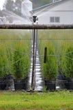 灌溉的苗圃场和雪松灌木 免版税库存照片