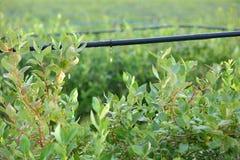 水滴灌溉系统,蓝莓灌木。 免版税库存图片