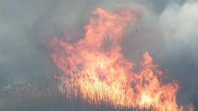 火在芦苇床上 免版税库存照片