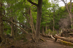 火地群岛国家公园森林 免版税库存图片