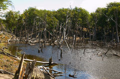 火地群岛国家公园死亡森林 免版税库存图片