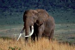 火山口大象 免版税库存图片