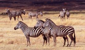 火山口ngorongoro坦桑尼亚三匹斑马 免版税库存图片