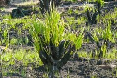 火山的土地的植物 免版税库存图片