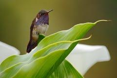 火山蜂鸟, Selasphorus flammula,在绿色叶子的小鸟,动物在自然栖所,山热带森林, w 免版税库存照片
