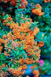 火棘'橙色有魅力者'在秋天 纹理背景 ?? 免版税库存照片