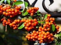 火棘灌木的莓果 库存照片