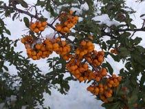 火棘莓果灌木在冬天 免版税库存图片