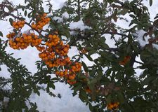 火棘莓果灌木在冬天 库存图片