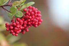 火棘莓果 库存图片