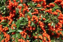 火棘coccinea ` Lowboy `华丽的带红色橙色莓果 免版税库存照片