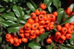 火棘coccinea ` Lowboy `华丽的带红色橙色莓果 免版税库存图片
