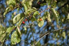 火棘Firethorn桔子莓果 免版税图库摄影