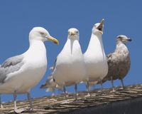 火海岛海鸥 免版税库存照片