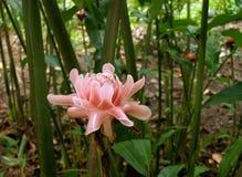 火炬姜花在热带森林里 图库摄影