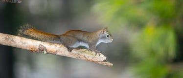 火热的橙色春天红松鼠,全长在分支 跑快的矮小的森林地的生物&下来在的树森林 免版税图库摄影