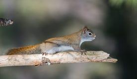 火热的橙色春天红松鼠,全长在分支 跑快的矮小的森林地的生物&下来在的树森林 免版税库存图片