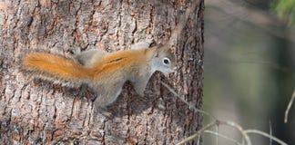 火热的橙色春天红松鼠,全长在树 跑在的树上下森林的快的矮小的森林地生物 免版税库存照片