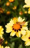 火热的船长Hylephila Phyleus蝴蝶在黄色非洲雏菊栖息 库存照片