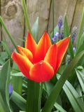 火热的郁金香在庭院里 库存照片