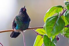 火热红喉刺莺的蜂鸟坐分支- Puntarenas,哥斯达黎加 库存图片