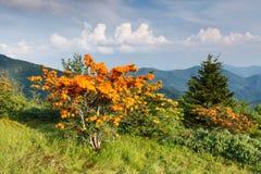 火焰杜娟花阿巴拉契亚山脉北卡罗来纳 库存图片