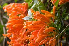 火焰状喇叭藤开花在桔子的flamevine与湿雨 库存图片