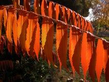 火焰状橙色黄栌树 库存图片