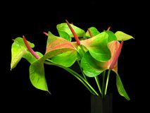 火焰状花仍然生活百合 图库摄影