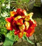 火焰状鹦鹉郁金香从上面 库存图片