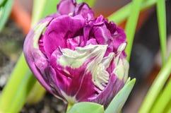 火焰状鹦鹉郁金香紫罗兰色和白花,关闭 图库摄影