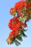 火焰花结构树 免版税库存照片