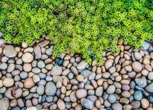 火焰荨麻(锦紫苏)叶子和小卵石背景 库存照片
