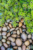 火焰荨麻(锦紫苏)叶子和小卵石背景 免版税库存照片