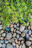 火焰荨麻(锦紫苏)叶子和小卵石背景 免版税图库摄影