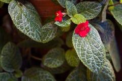 火焰紫罗兰,具匍匐茎植物 库存图片