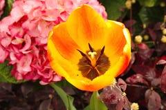 火焰黄色郁金香 库存图片
